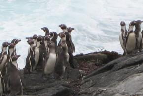 Los pingüinos tienen mal gusto